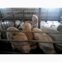 Реализуем свиней живым весом 105115 кг