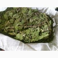 Ортилия однобокая (Боровая матка) отличная (оптом от 5кг)