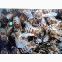 Пчеломатки Карпатка Карника