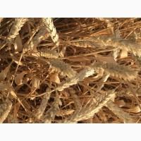 Семена озимой пшеницы сорт Краса Дона ЭС