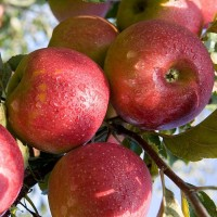 Крымские яблоки от производителя