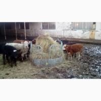Продаем бычков и телок мясная мраморная помесь 6 мес