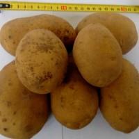 Картофель продовольственный Сатина 5+ от производителя РБ