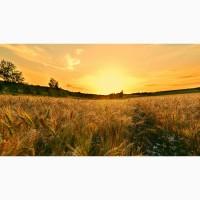 Семена озимой пшеницы Безостая 100, Гром, Гурт, Жива, Таня, Степь, Юка, Юбилейная 100