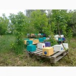 Пчеломатки Бакфаст 2020 плодные неплодные и маточники