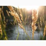 Продаётся пшеница 4 класса