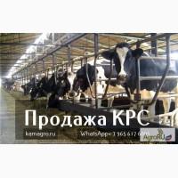 Продаем телок, нетелей, коров молочного направления оптом от 33 голов