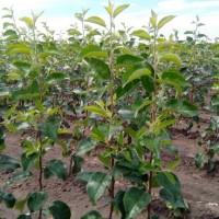 Саженцы яблони оптом от производителя РБ