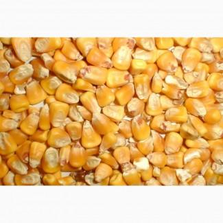 Купим оптом кукурузу фураж на FOB Новороссийск и Астрахань