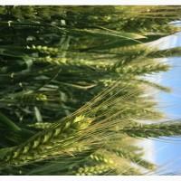 Семена озимой мягкой пшеницы сорт Ермак ЭС/РС1/РС2