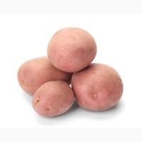 Семенной картофель Белароза