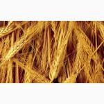 Продаётся пшеница 5 класса (фураж)