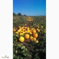 Продам семена дыни Эфиопка