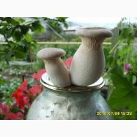 Мицелий грибов вешенки