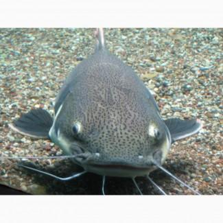 Живая рыба Сом речной