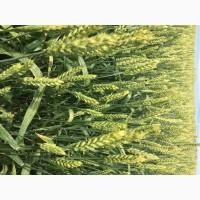 Семена озимой мягкой пшеницы сорт Донская Юбилейная ЭС/РС1