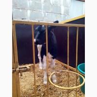 Реализуем бычков, телят от 50 до 300 кг. Голштины. респ. Марий-Эл