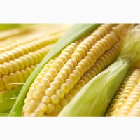 Гибриды семена кукурузы Сингента (Syngenta)