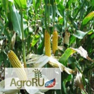 Реализуем кукурузу 3, 4 кл