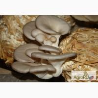 Зерновой мицелий вешенки оптом