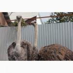 Продам самок страуса