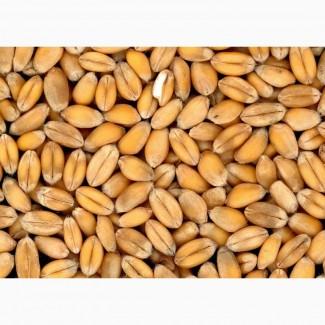 Продам Пшеница 1, 2, 3, 4, 5 класса оптом от производителя