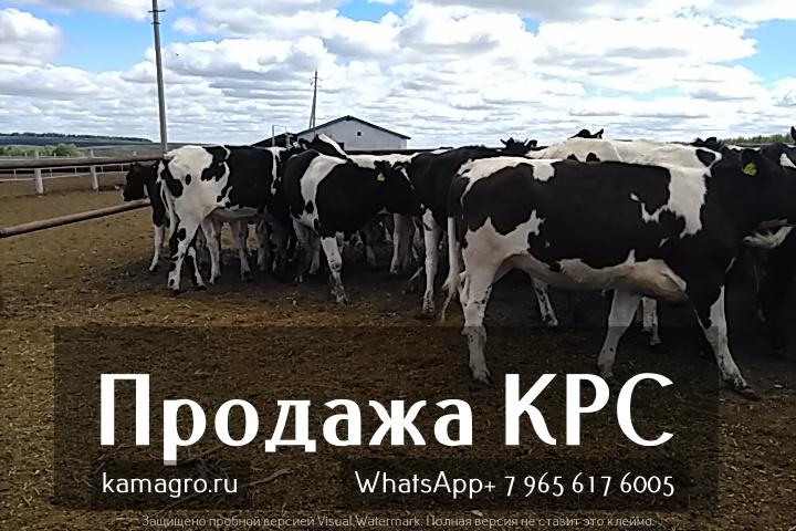 Фото 2. Племенные нетели молочных и мясных пород живым весом с доставкой