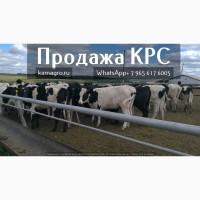 Племенные нетели молочных и мясных пород живым весом с доставкой