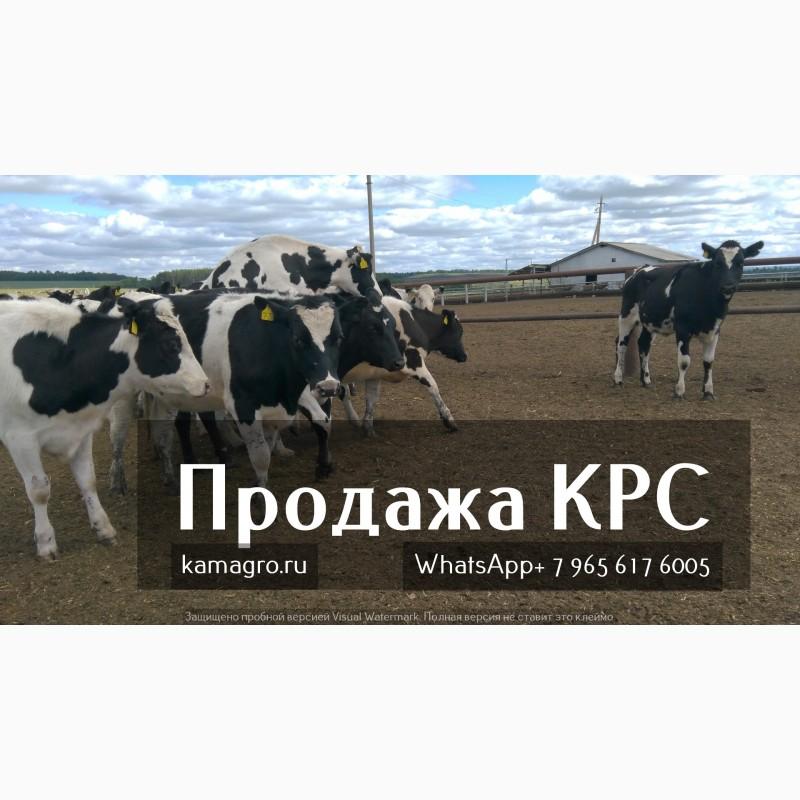 Фото 4. Племенные нетели молочных и мясных пород живым весом с доставкой