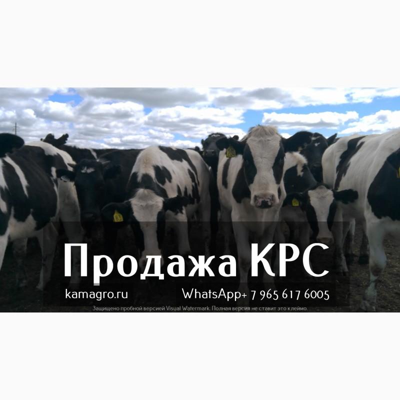 Фото 5. Племенные нетели молочных и мясных пород живым весом с доставкой