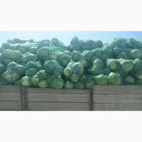 Продаём капусту молодую оптом от фермера