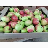 Яблоки оптом от производителя калибр 65+ 30 руб./кг