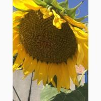 Семена подсолнечника ультра ранние Казачий РС 1