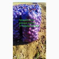 Продаю лук фиолетовый