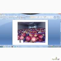 Яблоки оптом, 65+, от производителя, 40 р/кг