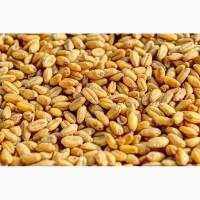 Продам Пшеница фуражная оптом от производителя