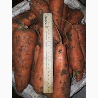 Морковь продовольственная от производителя