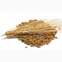 ООО НПП «Зарайские семена» закупает фуражное зерно: ячмень от 60 тонн