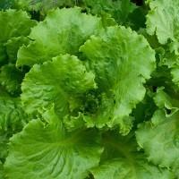 Салат листовой от производителя
