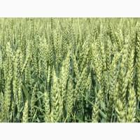 Семена озимой пшеницы Тимирязевка 150, Донская Степь, Гром, Табор, Таня, Безостая 100, Юка