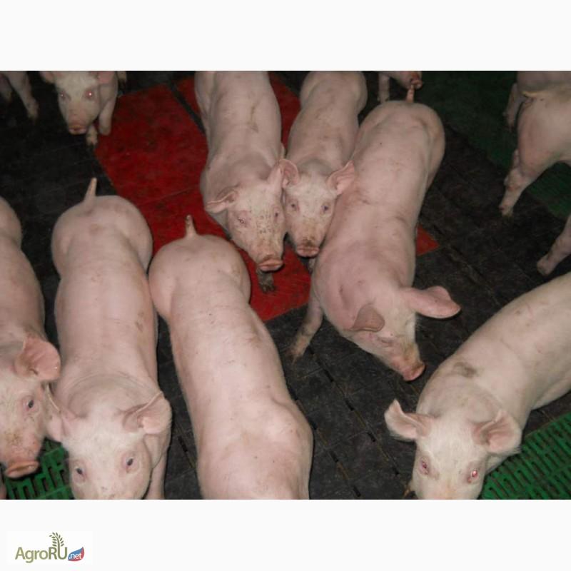 свиньи петренко фото все люди встречали