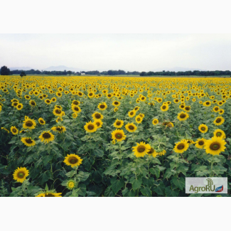 Гибриды семян подсолнечника под ЭКСПРЕСС (Express)