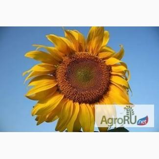 Гибриды семян подсолнечника МАЙСАДУР (MAISADOUR )