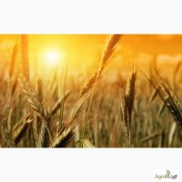 Пшеница на Афганистан
