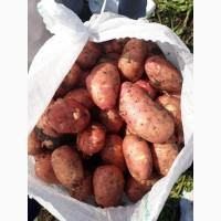 Молодой картофель Краснодарский край