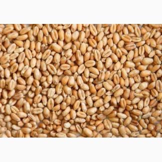 Фуражное зерно:пшеница