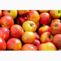 Яблоки сорта Гала оптом с доставкой по РФ