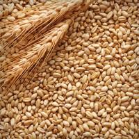 Пшеница фураж