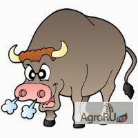 Ремонтные бычки и телки