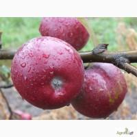 Яблоки, свежие Атоновка, Ауксис, Лигол, Чемпион, Хани Крисп, Фридом и многие другие